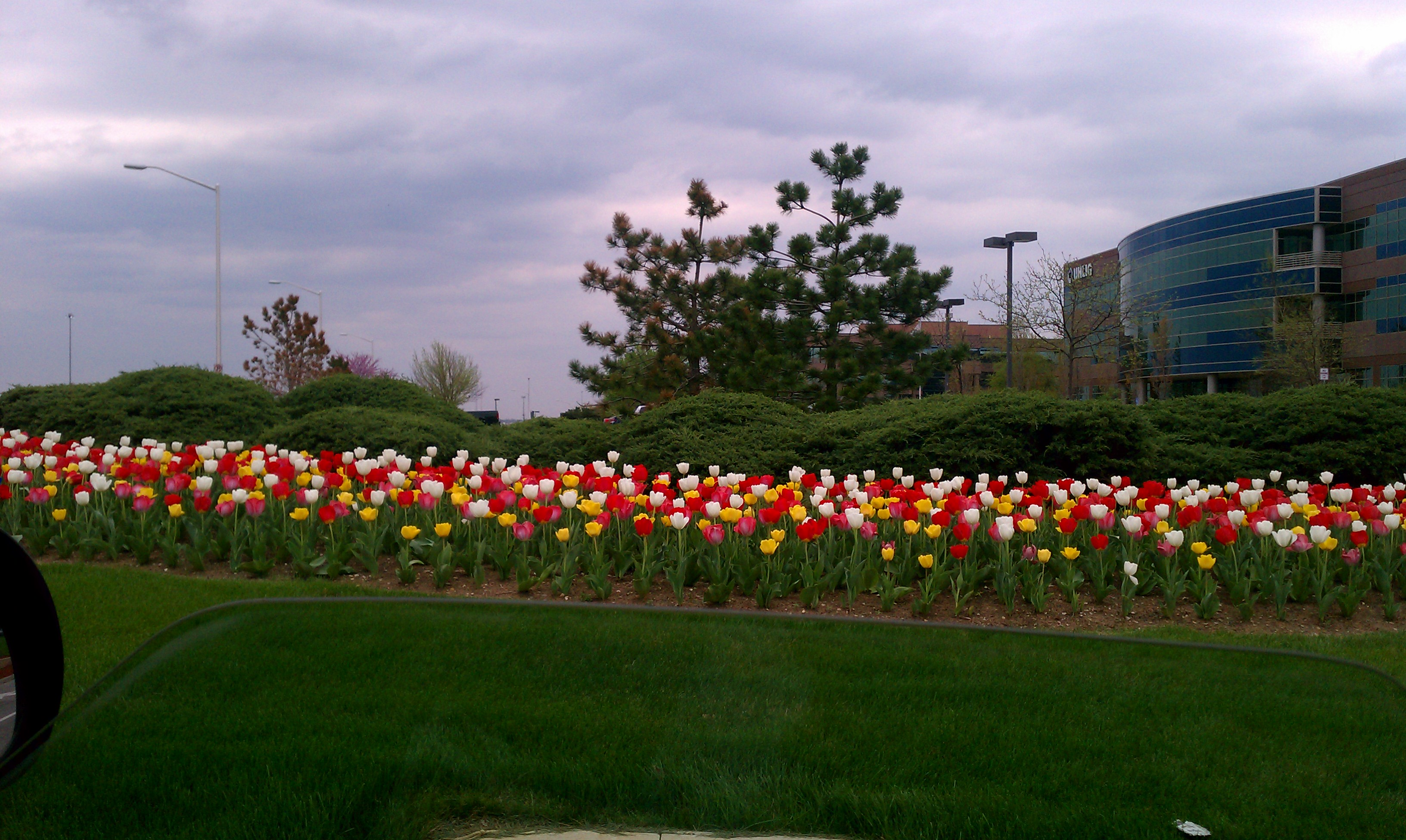 Tulips! Spring! Bright colors! Flowers swaying in the wind!