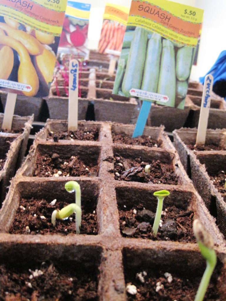 squash seedlings