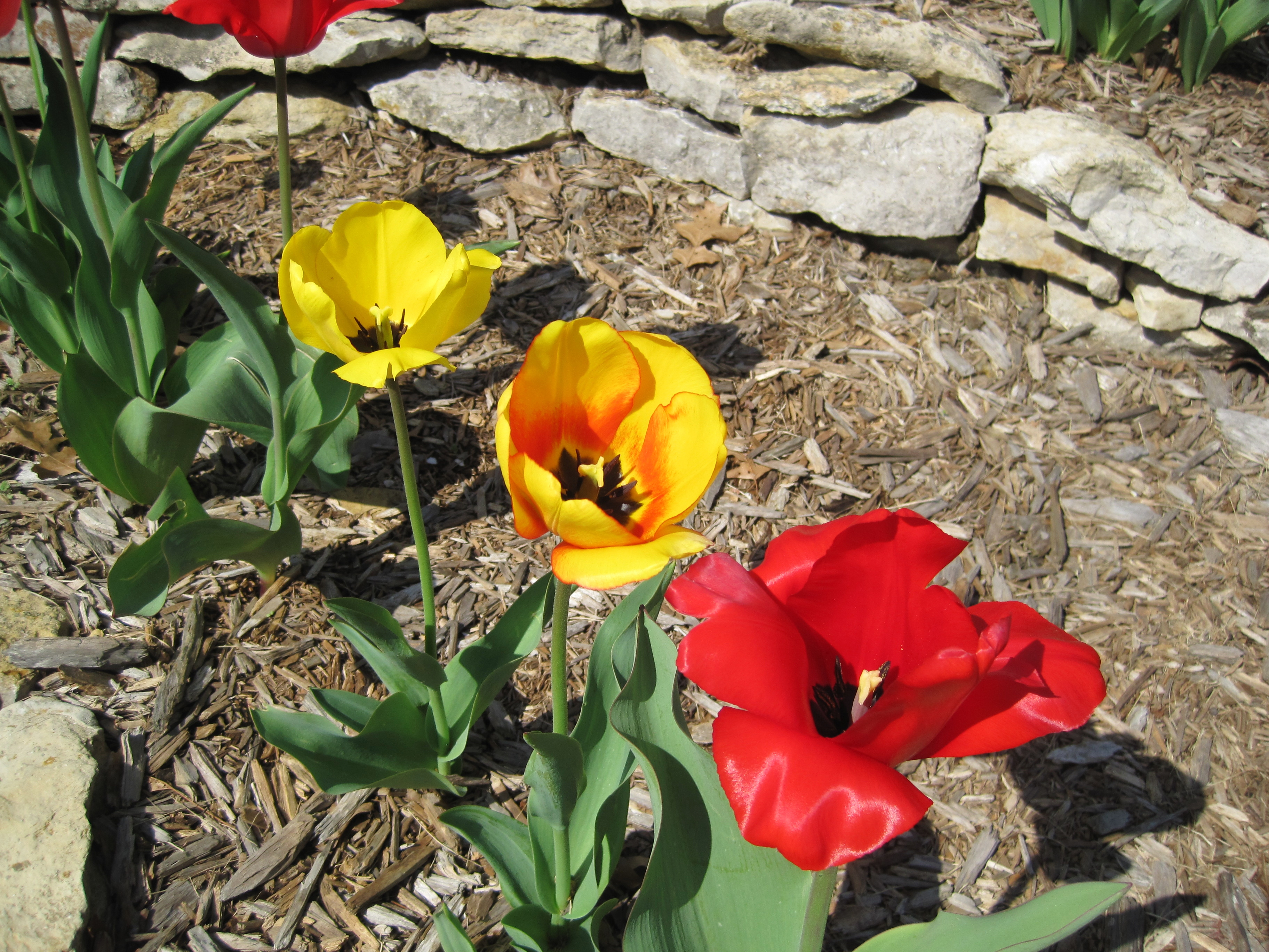 blooming tulips 4