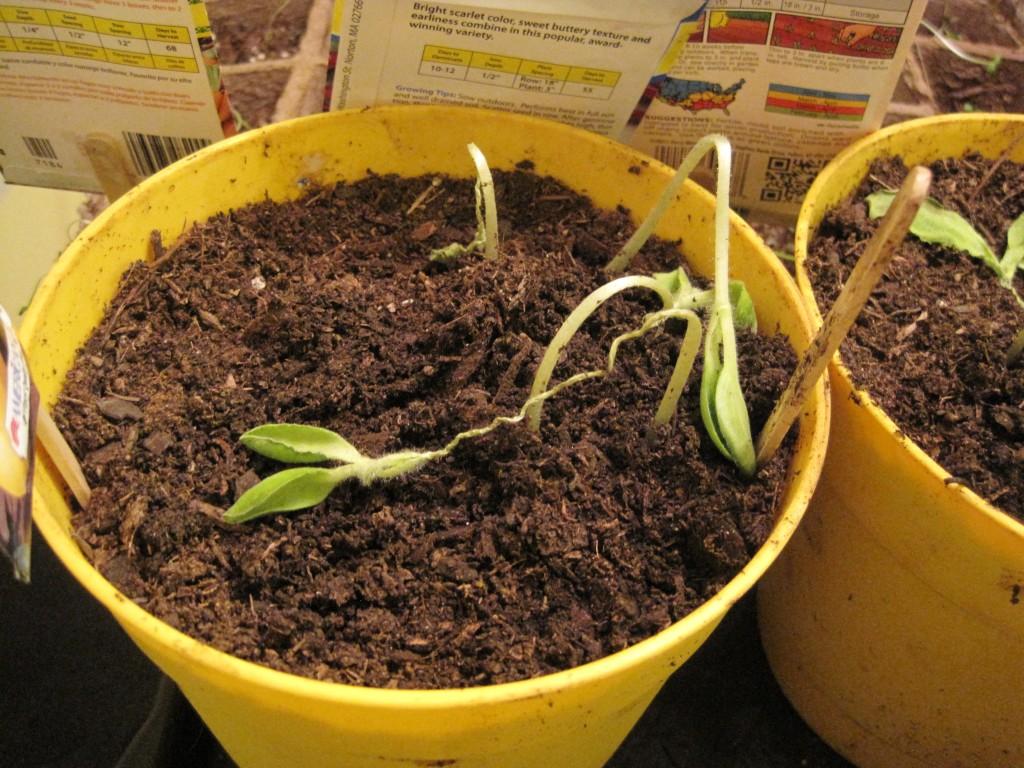 sick seedlings 4