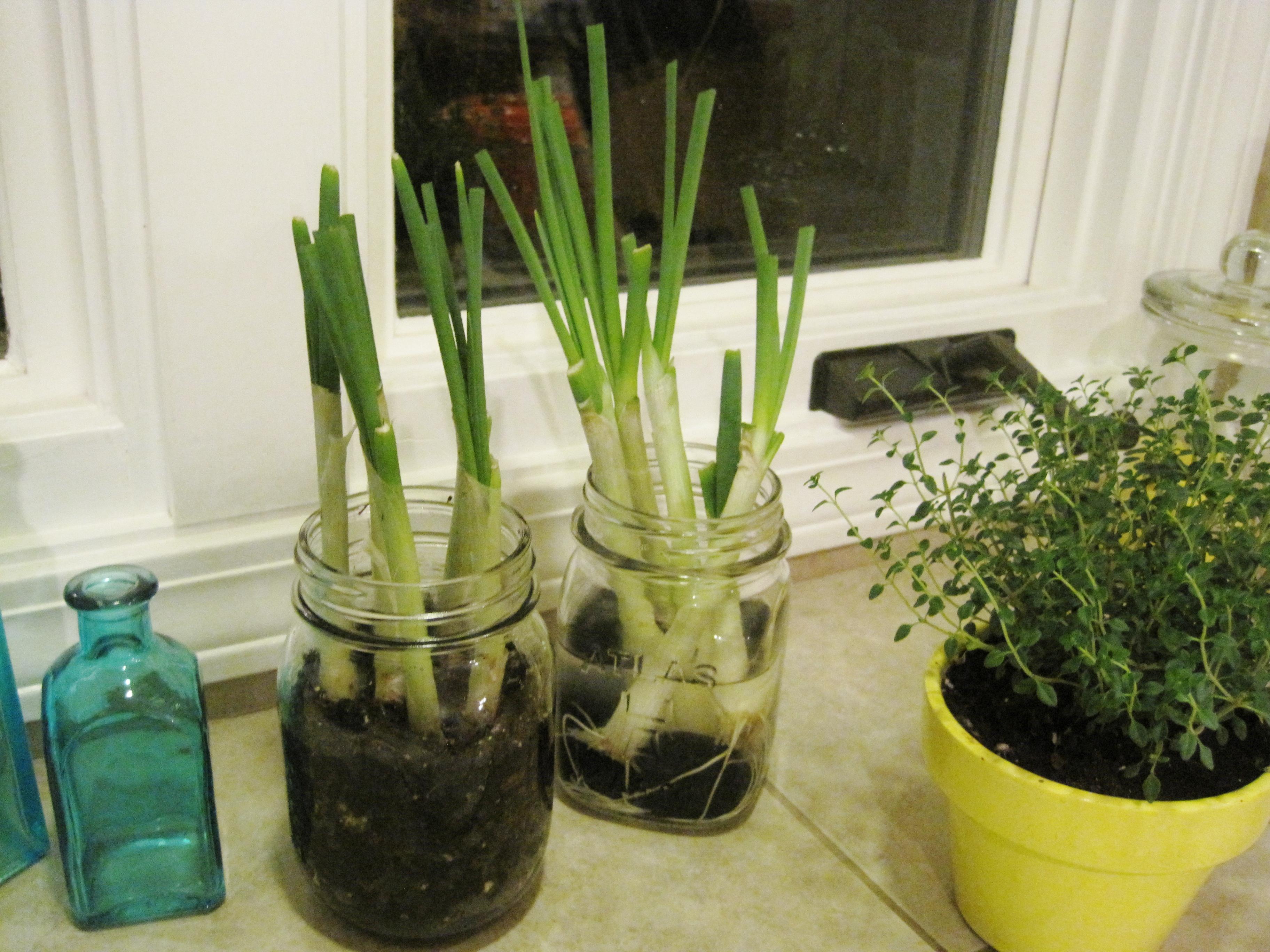 growing green onions 3