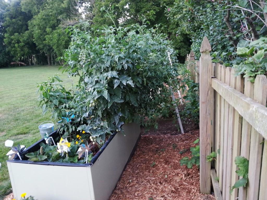 Trimming Tomato Plants 1