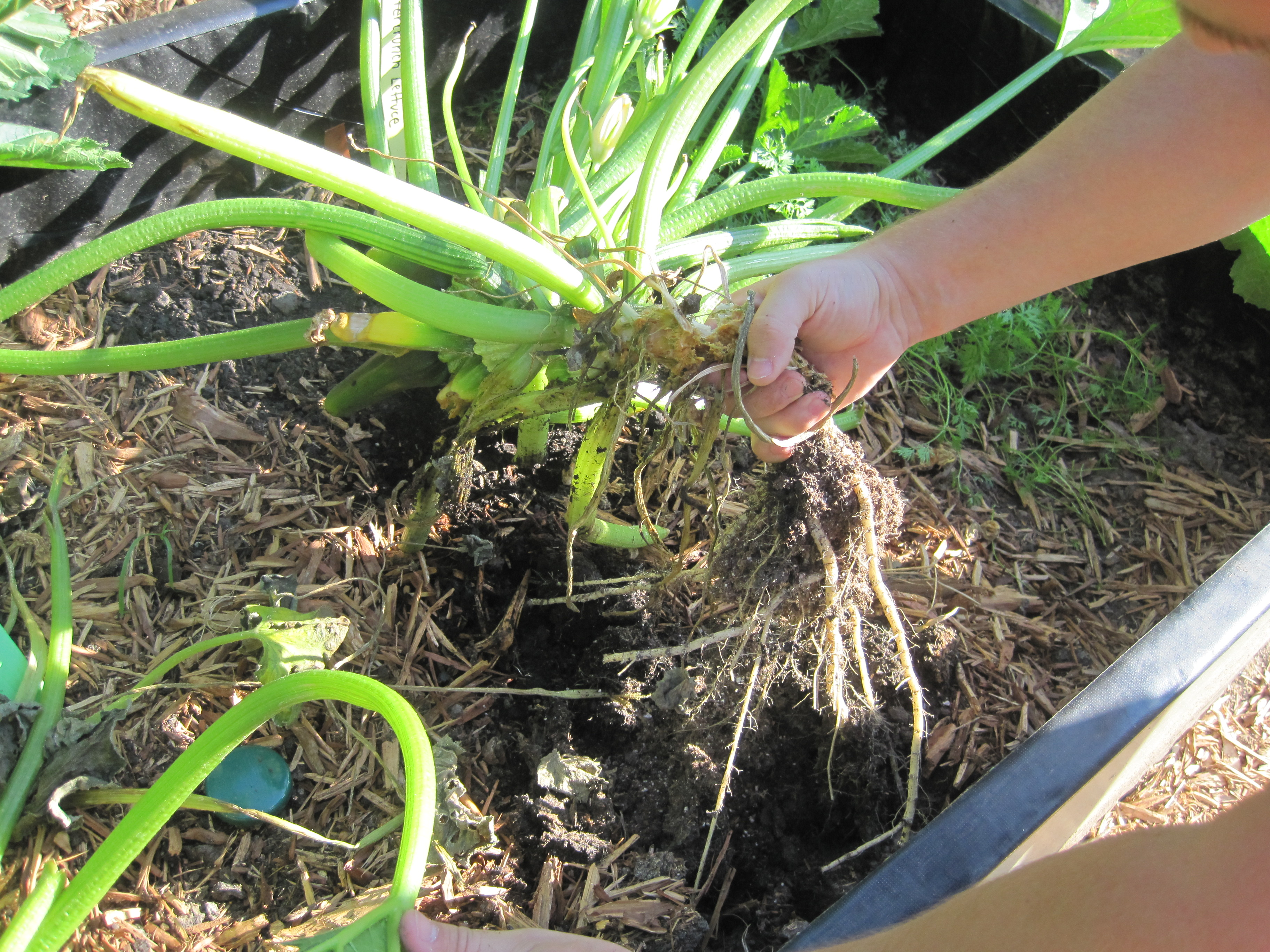 Zucchini Borer Removing