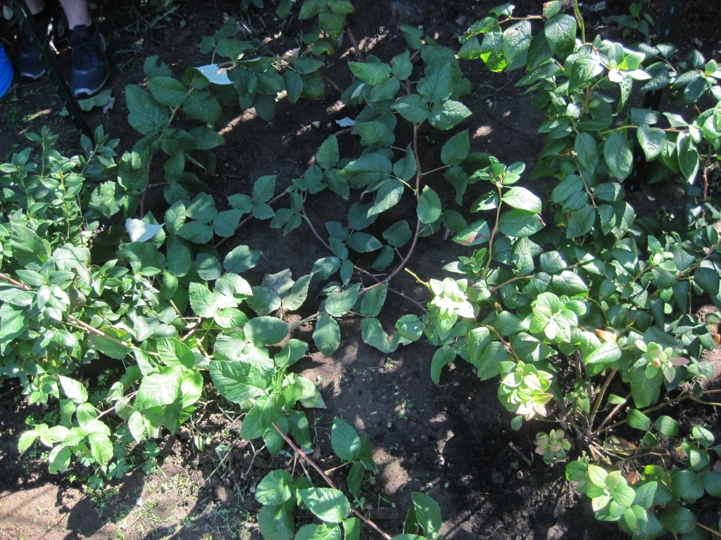Overgrown Raspberries 2