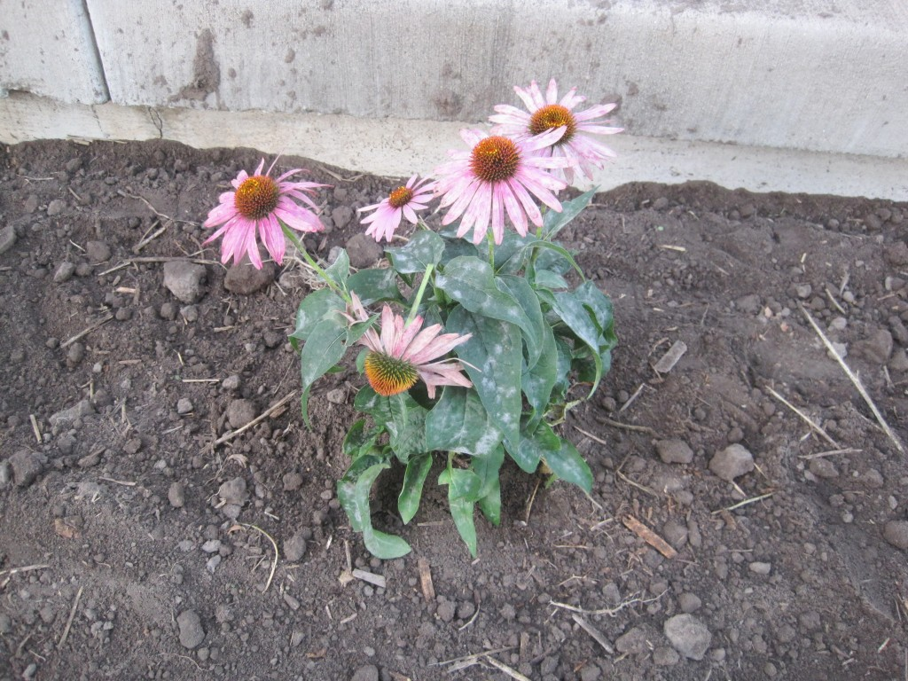 Planted Coneflower