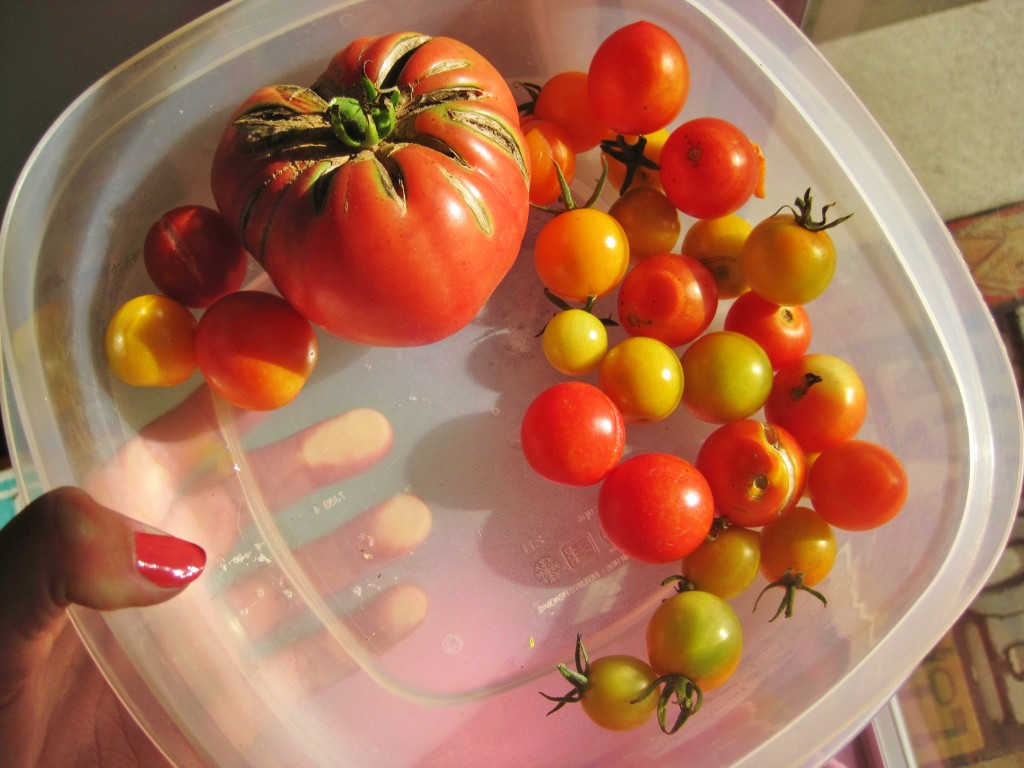 Tomato Harvest In October