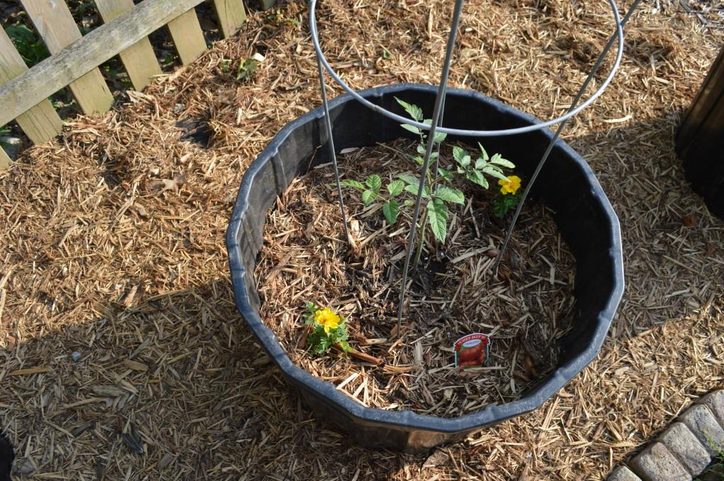 Planted Tomato In Barrel