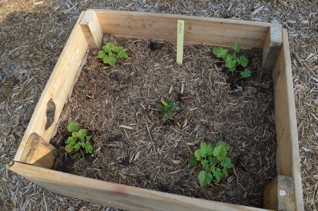 Planted Zucchini in Wooden Raised Bed