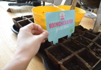 Popcorn seeds planted