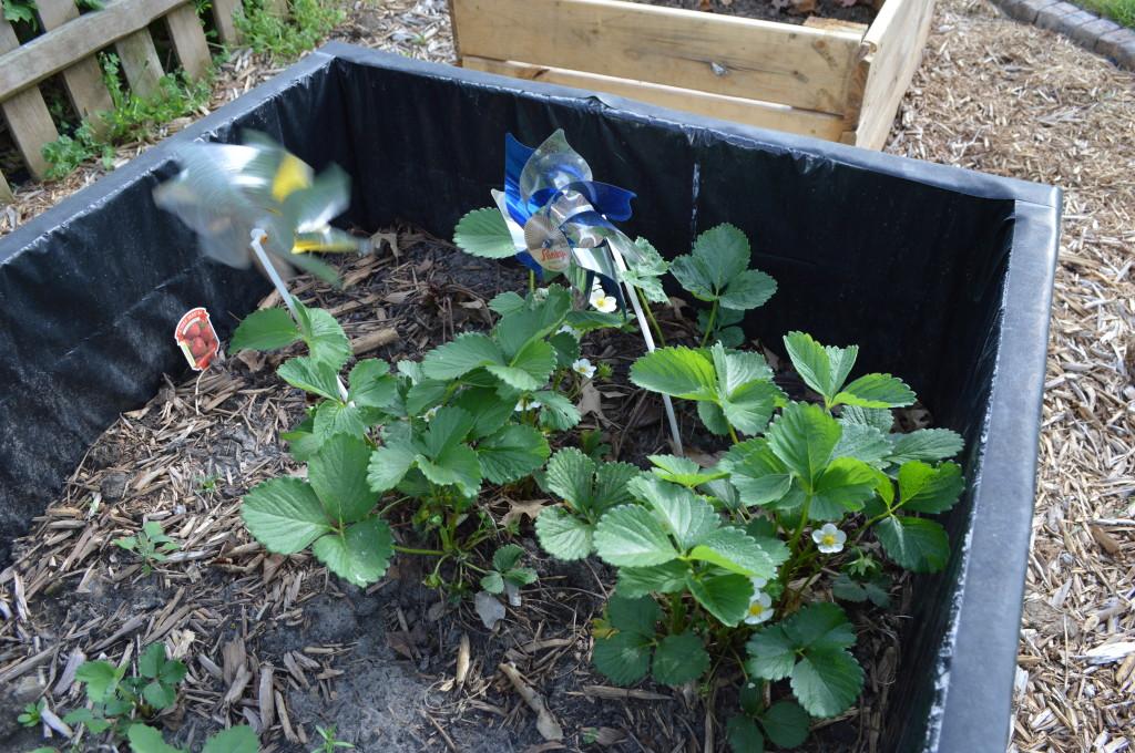 Strawberry plants 2014