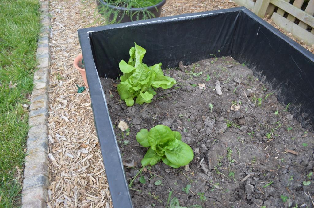 Surprise Lettuce in Spring Garden