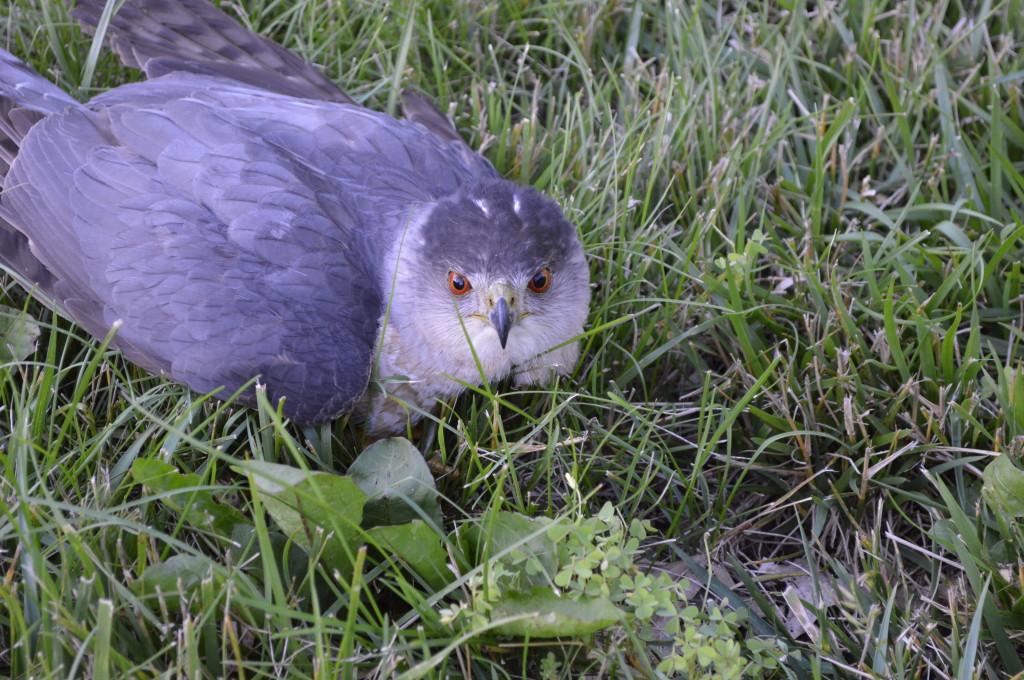 Cooper's Hawk in Yard