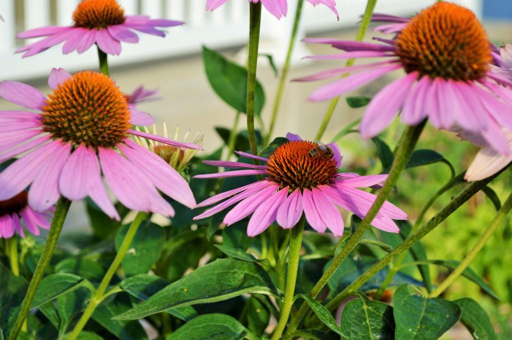 Bee in Coneflowers