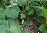 Eggplant July 2014