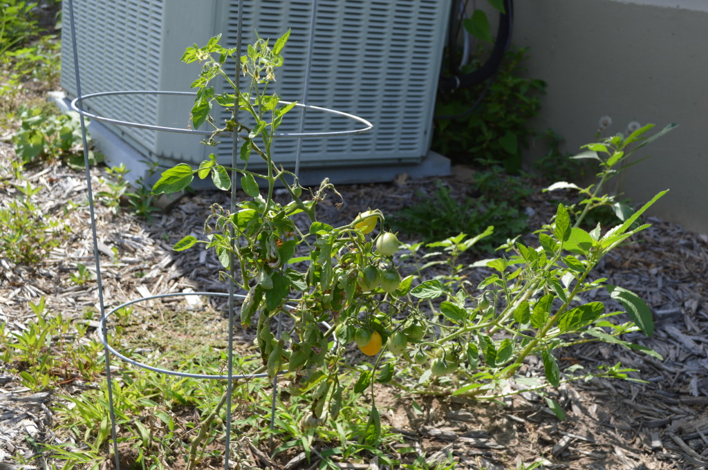 Sickly Tomatoes July 2014 3