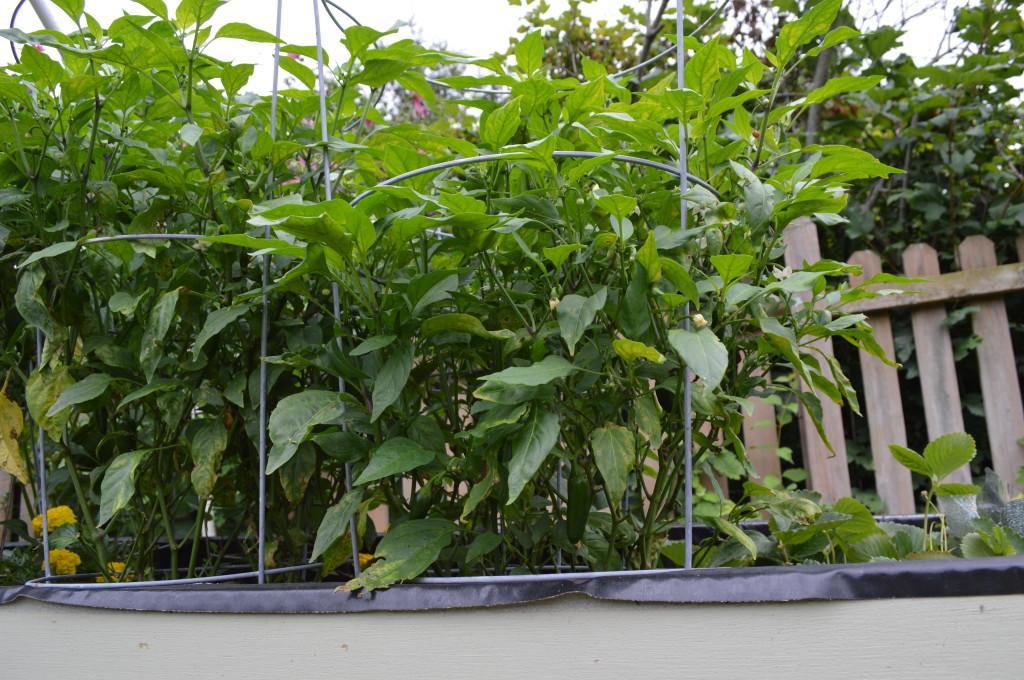 August Garden Update 10