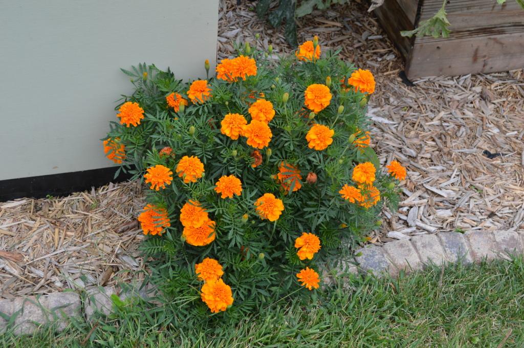 August Garden Update 12