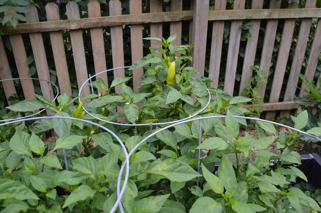 August Garden Update 8