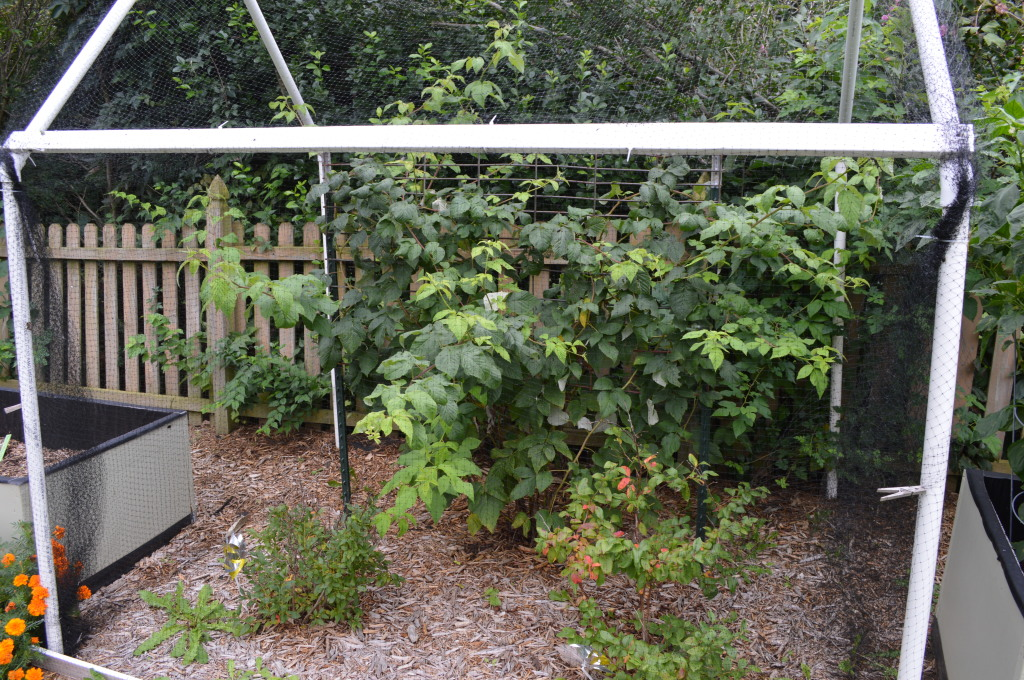 Fall Garden Beds Raspberries