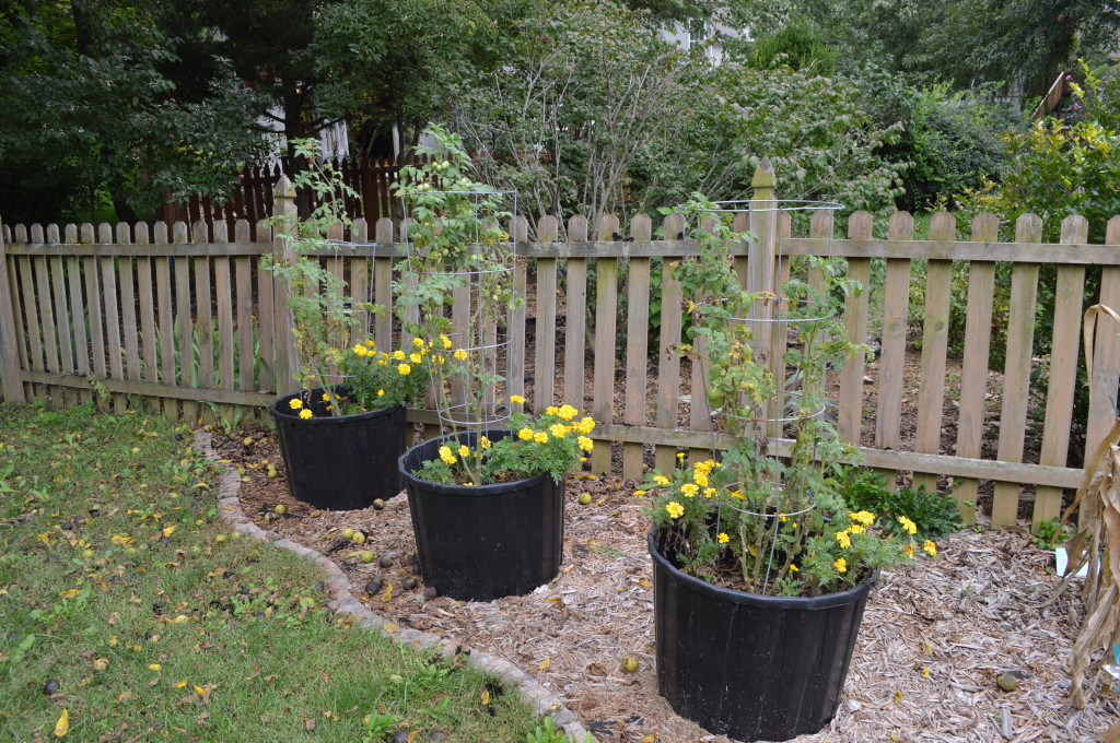 Fall Garden Beds Tomatoes