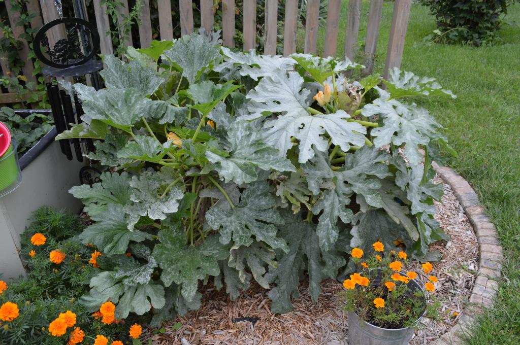 Fall Garden Beds Zucchini