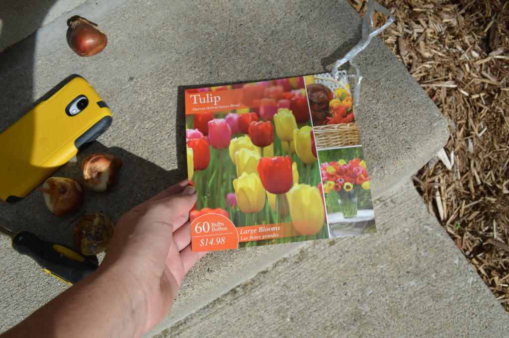 Planting Tulip Bulbs 5