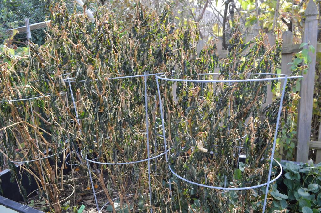 Frost-bitten dead pepper plants