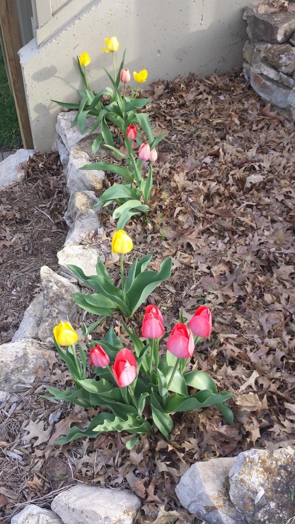Returning Tulips