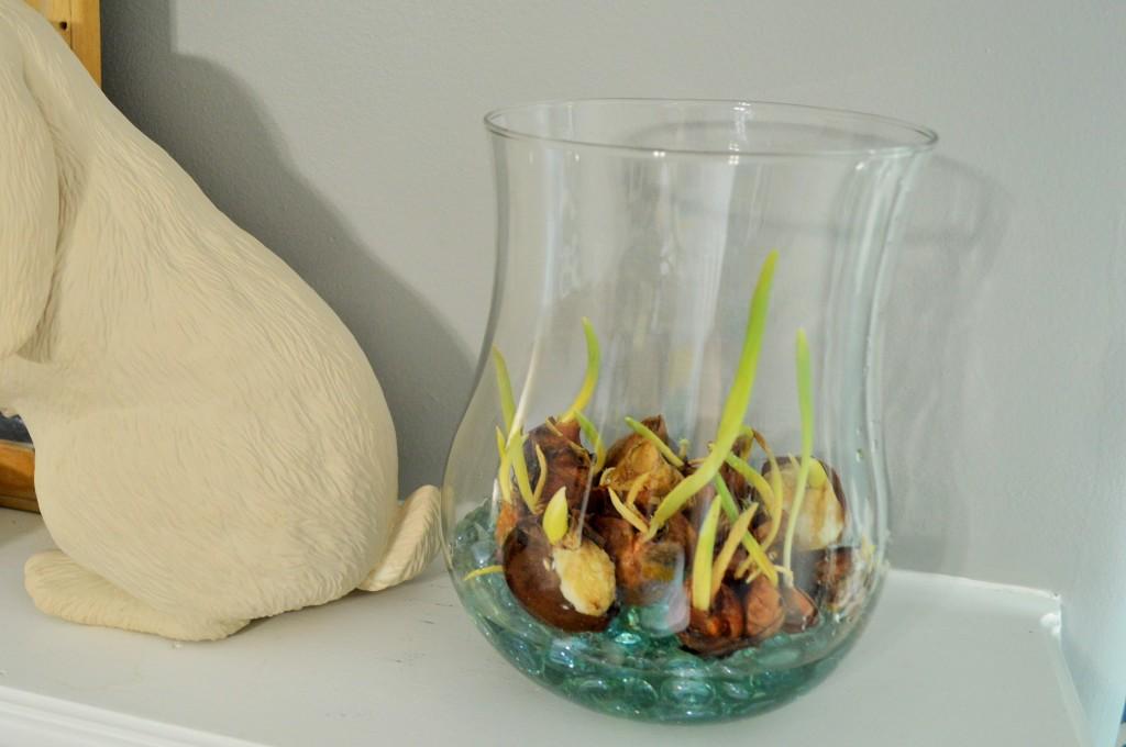 Indoor Tulip Progress
