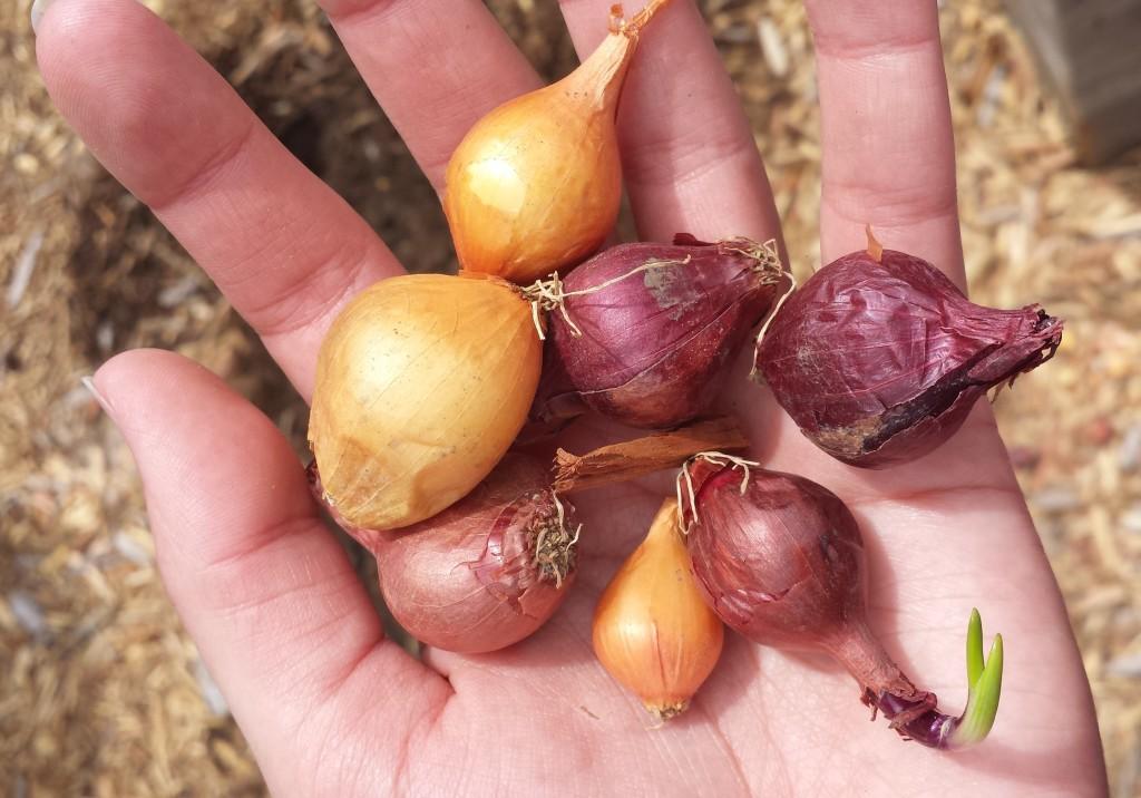 Garden Onions 2015