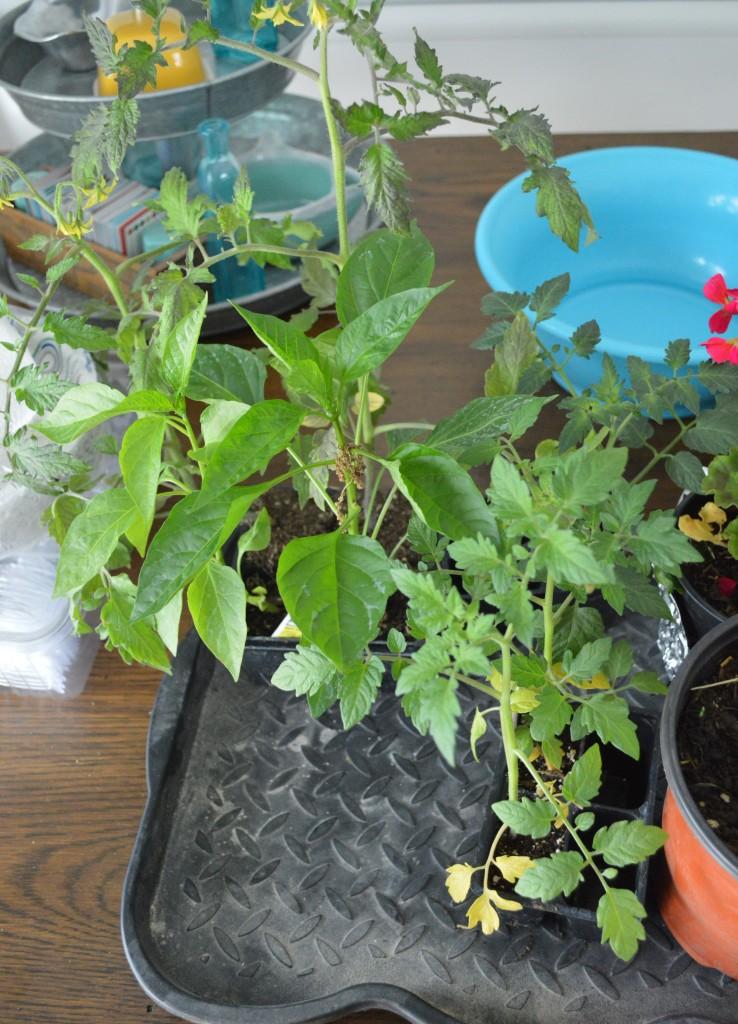 Garden Seedlings from In-laws