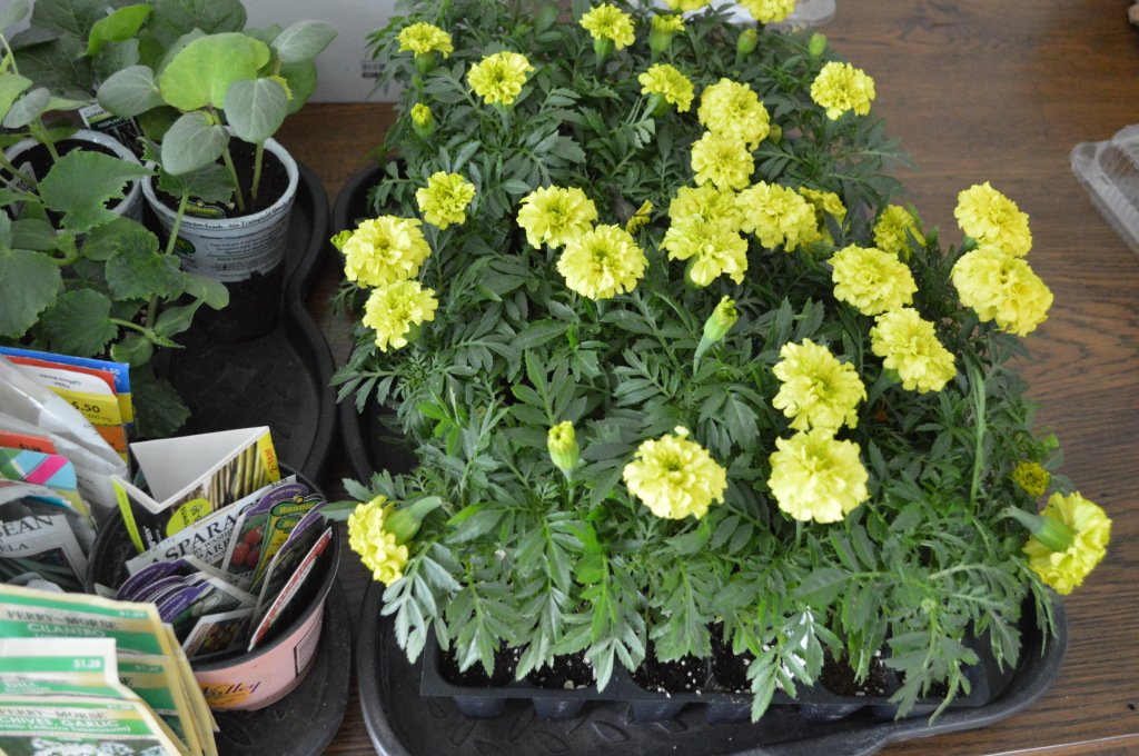 Marigolds for Garden