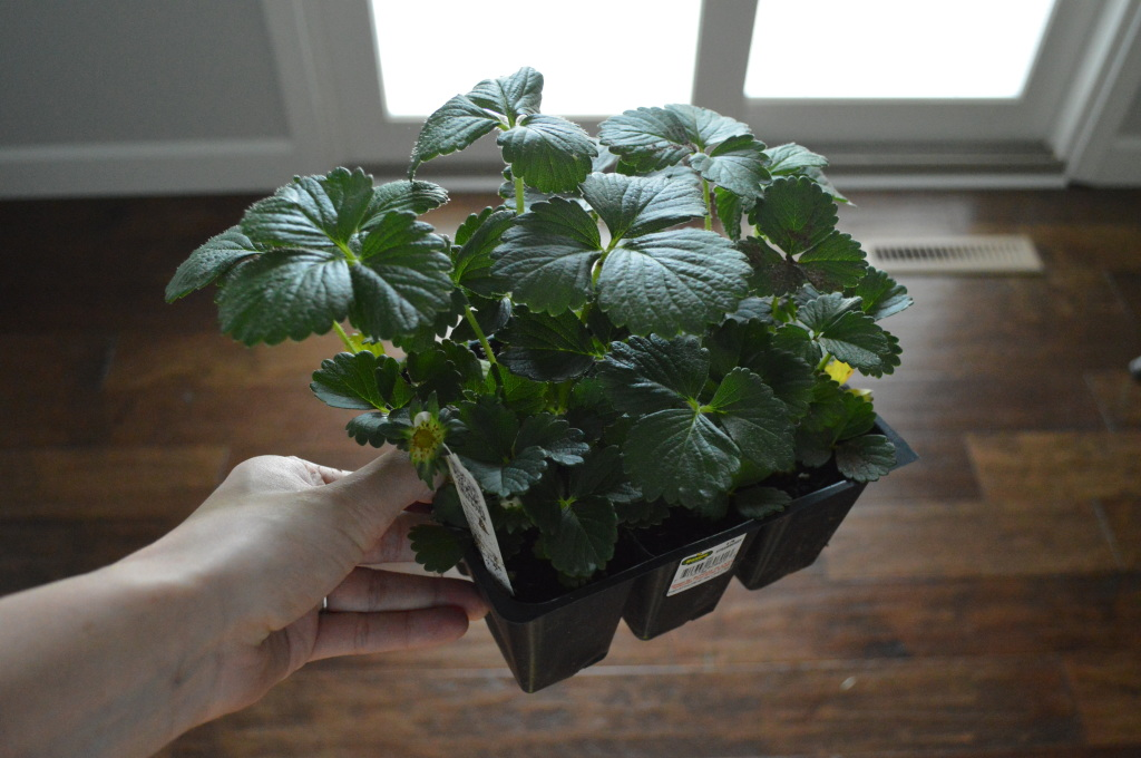 More Strawberries to Plant