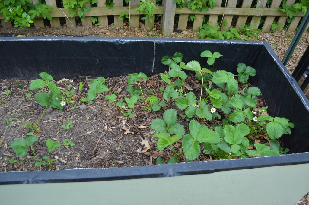 Strawberries in Garden 2015 Before