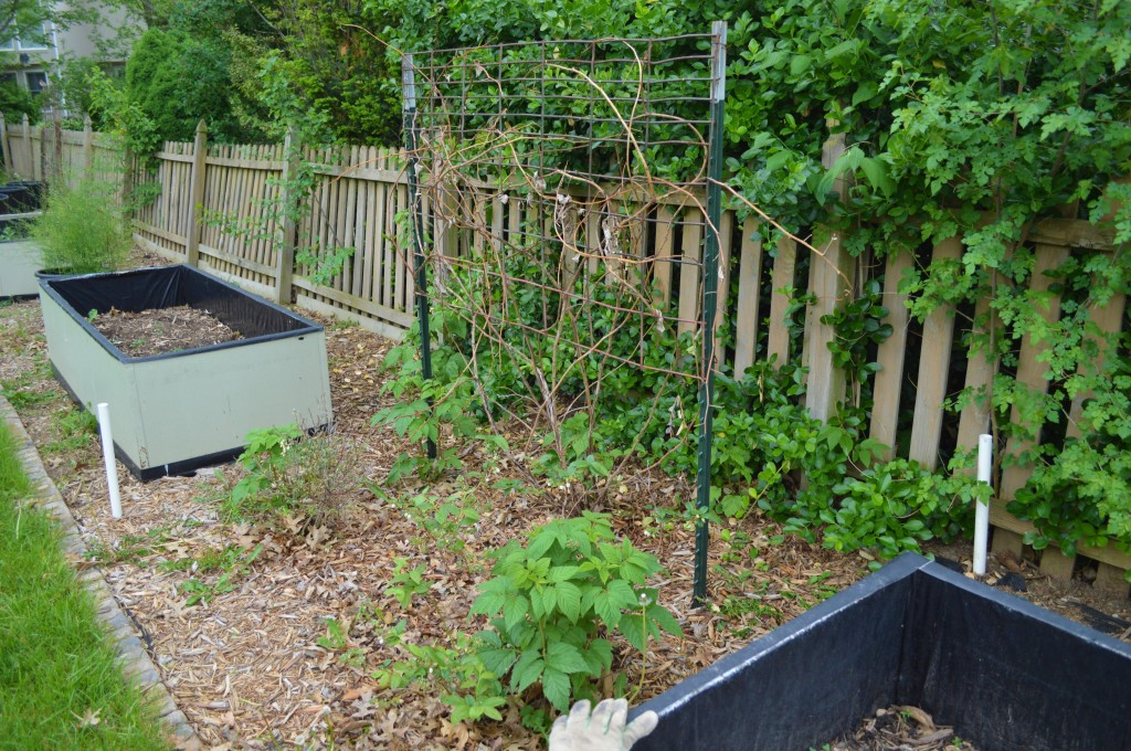 Weeded and Trimmed Garden Prep 2015 Before 4