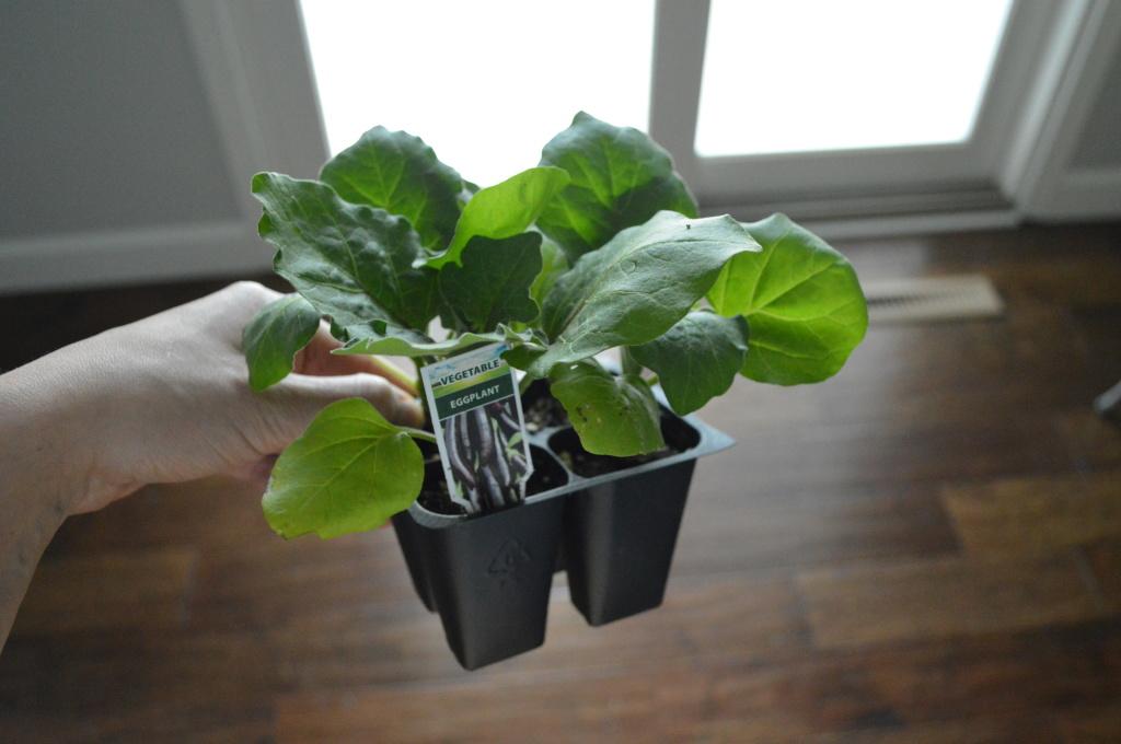 Westlake Eggplant Seedlings