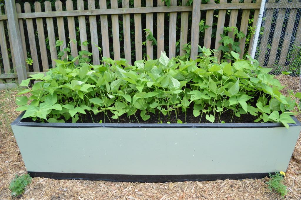 Garden Beans June 2015