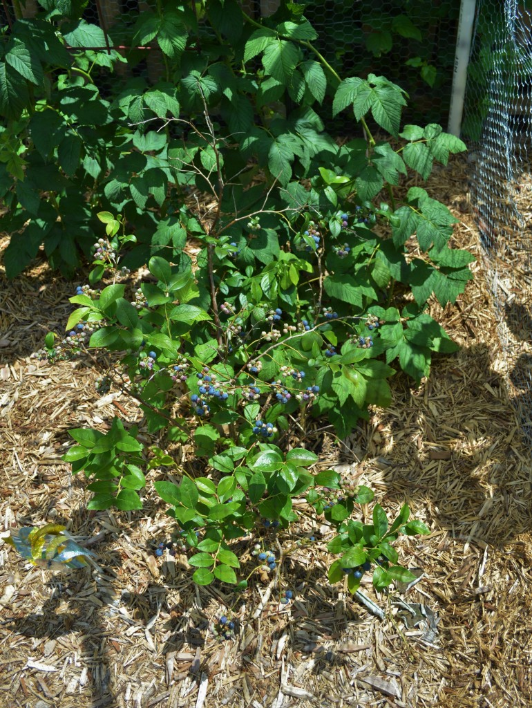 Garden Blueberries Ripening June 2015