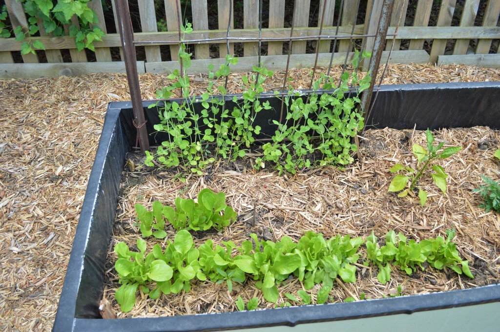 Garden Lettuce and Peas June 2015