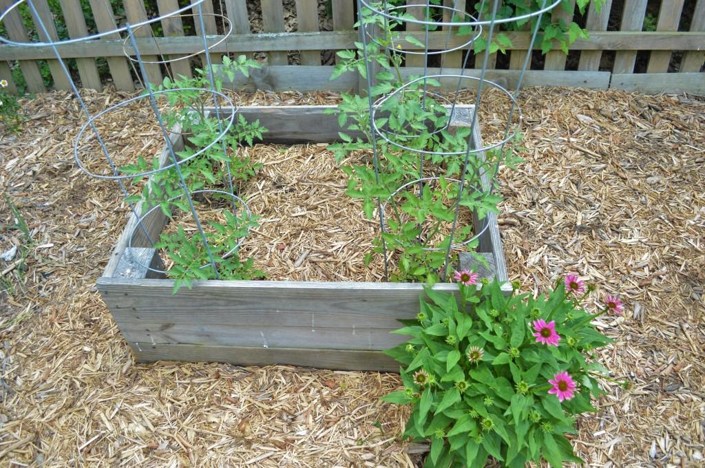 Garden Tomatoes June 2015