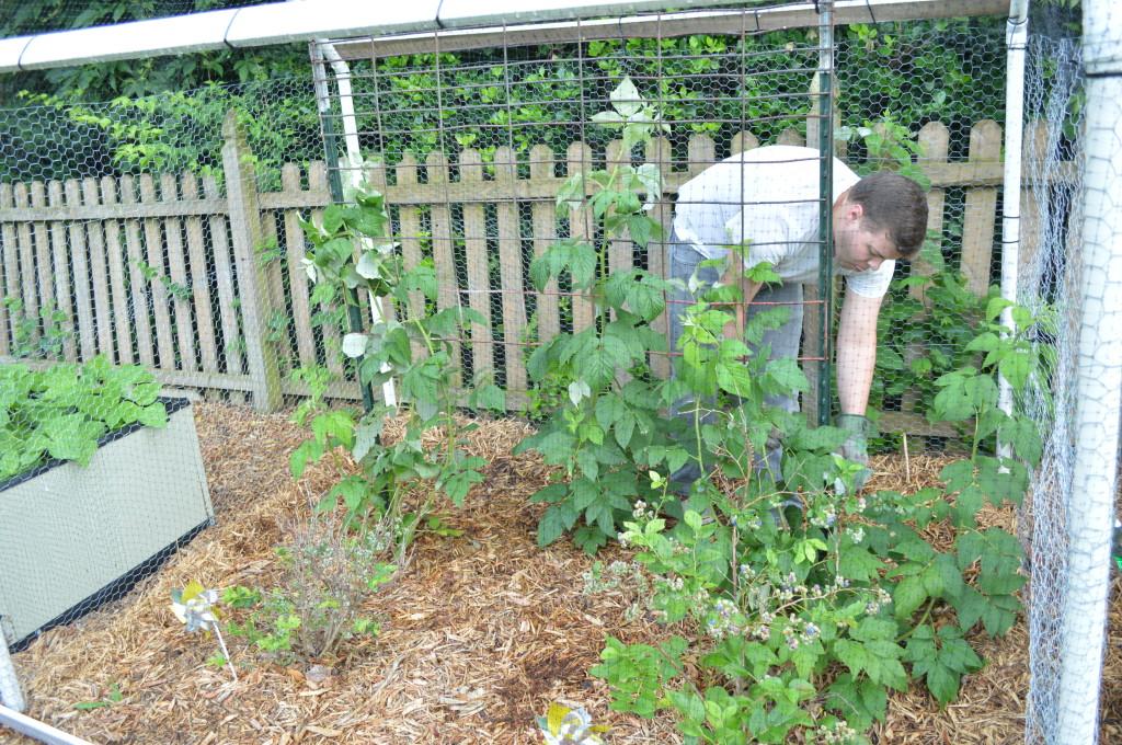 Garden raspberry vines June 2015