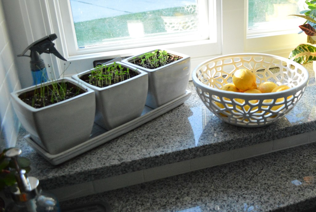 Sprouted Herbs in Kitchen Window sill
