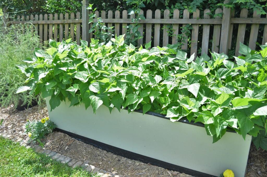 Garden July 15 Beans 2