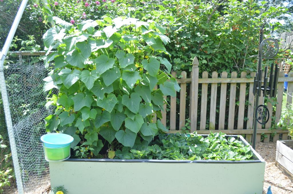 Garden July 15 Cucumbers