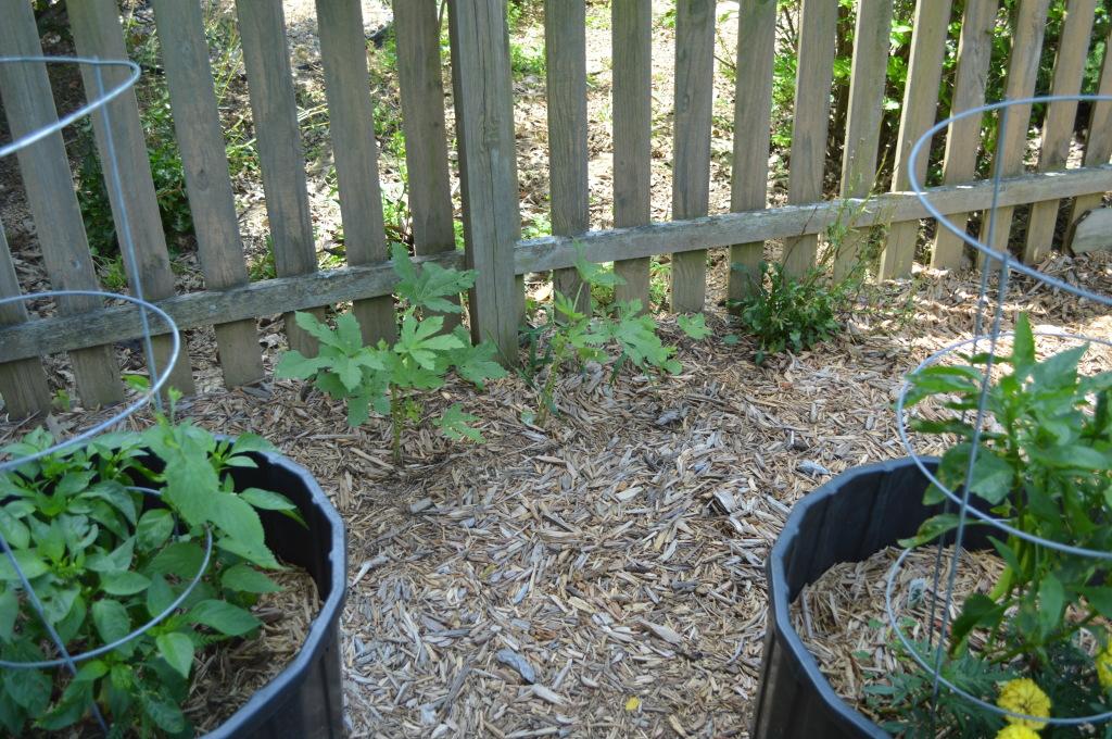 Garden July 15 Okra