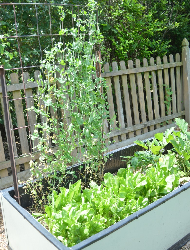 Garden July 15 Peas