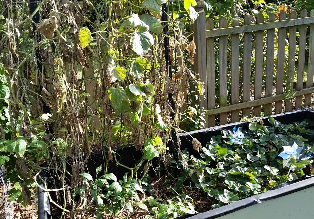 Garden September 15 Cucumbers
