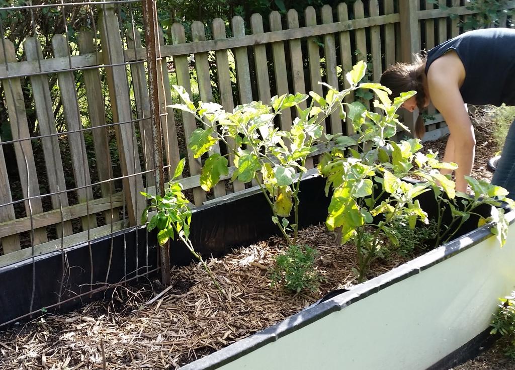 Garden September 15 Eggplant