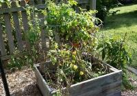 Garden September 15 Okra