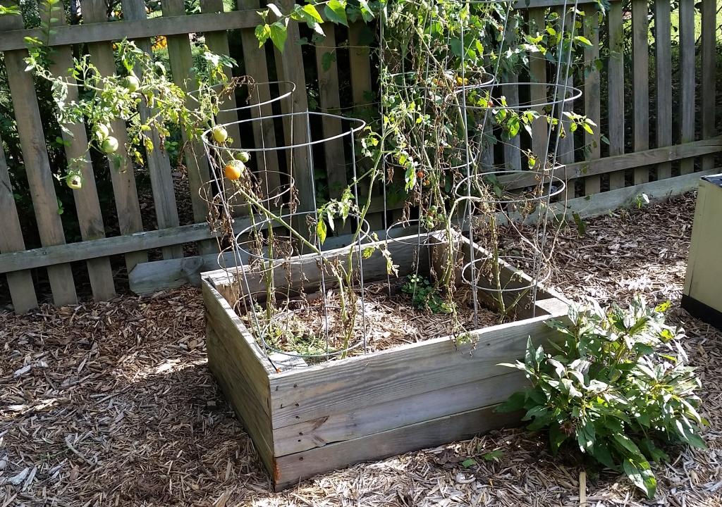 Garden September 15Tomatoes